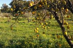 Дерево покрыто с одичалыми Клементинами Стоковые Фотографии RF