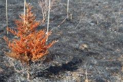 Дерево после контролируемого огня стоковое изображение rf