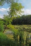 Дерево полагается к поверхности пруда Стоковые Фотографии RF