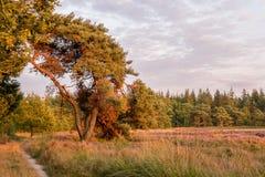 Дерево полем вереска в свете захода солнца Стоковые Фотографии RF