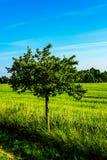 Дерево полем Стоковые Фото