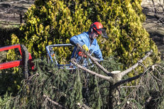 Дерево подрезая человеком при цепная пила, стоя на механически платформе, на большой возвышенности между ветвями ели стоковые фотографии rf