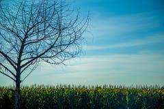 Дерево поля плантации мозоли Стоковое Изображение RF