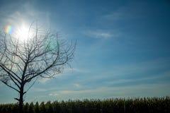 Дерево поля плантации мозоли Стоковое Изображение