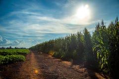 Дерево поля плантации мозоли Стоковое фото RF