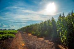 Дерево поля плантации мозоли Стоковые Изображения