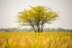 Дерево поля Стоковое Изображение RF