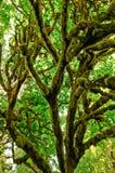 Дерево предусматриванное в толщином мхе Стоковое Изображение RF