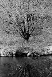 Дерево предусматриванное в снеге Стоковая Фотография RF
