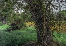 Дерево при многочисленные лозы покрывая дерево Стоковые Фотографии RF