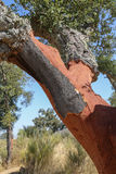 Дерево пробочки Стоковые Изображения