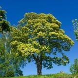 Дерево против голубого неба Стоковое Изображение RF