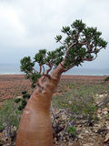 Дерево пустыни розовое Стоковые Изображения RF