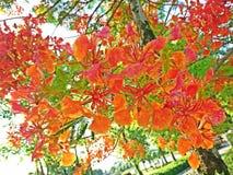 Дерево пламени или королевский цветок красного цвета Poinciana Стоковое Изображение RF
