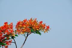 Дерево пламени орхидеи красное цветистое для предпосылки Стоковая Фотография