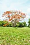 Дерево пламени Стоковое Изображение