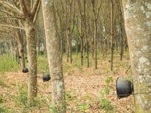 Дерево плантации резиновое жать в лесе Стоковые Фотографии RF