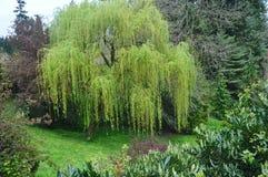 Дерево плача вербы Стоковая Фотография