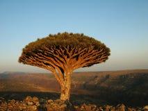 Дерево дракона, Сокотра стоковая фотография rf