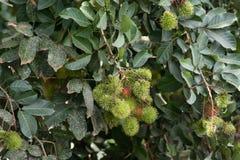 Дерево рамбутана Стоковое Изображение