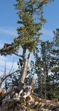 Дерево растет от утесов Стоковые Изображения RF