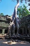 Дерево растя вне руины животиков Prohm в Angkor Wat - Камбодже стоковая фотография rf