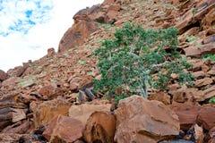 Дерево растя между утесами в Twyfelfontein, Намибии Стоковая Фотография