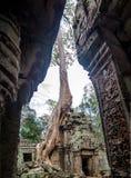 Дерево растя на пагоде кхмера в Angkor Wat Стоковое Изображение RF