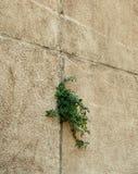 Дерево растя через треснутую стену Малый дерев-во время роста на стене цемента Старыми отказ гипсолита треснутый стенами засорите Стоковые Изображения