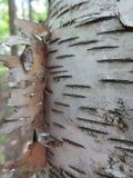Дерево расшивы березы Стоковые Изображения RF
