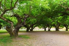 Дерево розановые конца-вверх большое Стоковые Фото