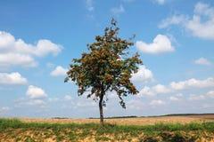 Дерево рябины растет в середине поля Стоковые Фото