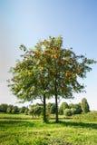 Дерево рябины Стоковые Изображения