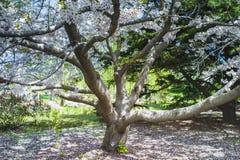 Дерево Сакуры в апреле на Qingdao, Китае стоковые фото