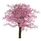 Дерево Сакуры, изолированная вишня, Стоковые Изображения