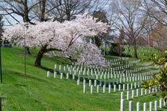 Дерево Сакуры на кладбище Арлингтона Стоковые Фотографии RF