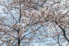 Дерево Сакуры с голубым небом как время предпосылки весной на Японии Стоковое Изображение