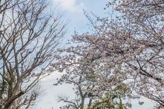 Дерево Сакуры с голубым небом как время предпосылки весной на Японии Стоковые Изображения