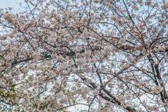 Дерево Сакуры с голубым небом как время предпосылки весной на Японии Стоковая Фотография RF