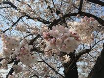 Дерево Сакуры Стоковое Изображение RF