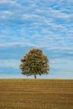 Дерево самостоятельно в поле Стоковые Изображения