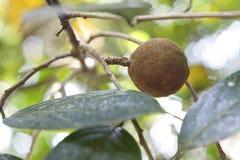 Дерево сандаловых деревьев, популярный ayurvedic завод Стоковое Изображение