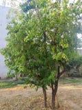 Дерево сандаловых деревьев Стоковое фото RF