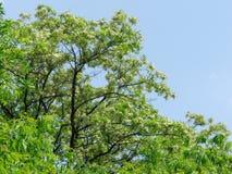 Дерево саранчи Стоковые Фото