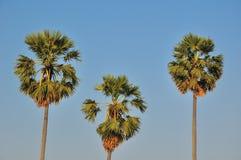 Дерево сахара Стоковая Фотография RF