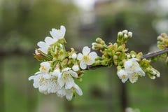 Дерево свежей хворостины зацветая, предпосылка мягкого defocus Стоковая Фотография