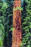 Дерево секвойи в национальном парке Sequois в Калифорнии Стоковое Изображение