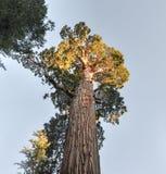 Дерево секвойи генерала Grant, национальный парк королей Каньона Стоковое Изображение