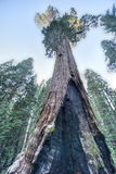 Дерево секвойи генерала Grant, национальный парк королей Каньона Стоковое Фото