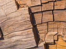 Дерево секвойи подробно Стоковые Фото